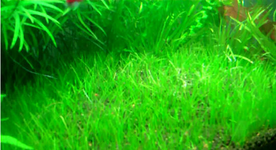dvärghårgräs i nanoakvariet